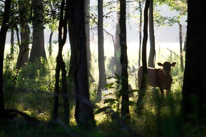 Beautiful Calf in Trees 36331_10151087029596914_495952257_n.jpg