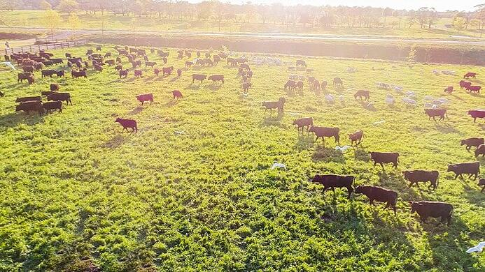 Cattle Grazing Pasture Grassfed Silicon Ranch Regenerative Energy