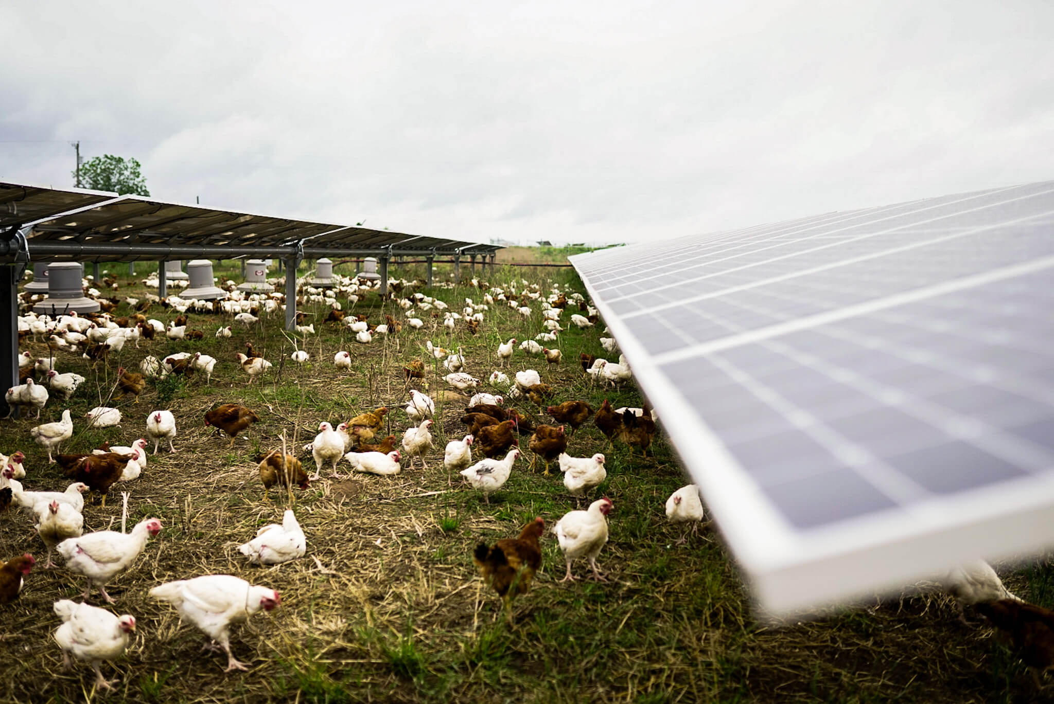 Chickens pasture raised poultry solar grazing
