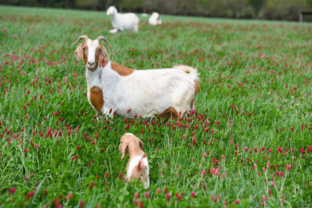 goat and kid in crimson glover cool season annuals