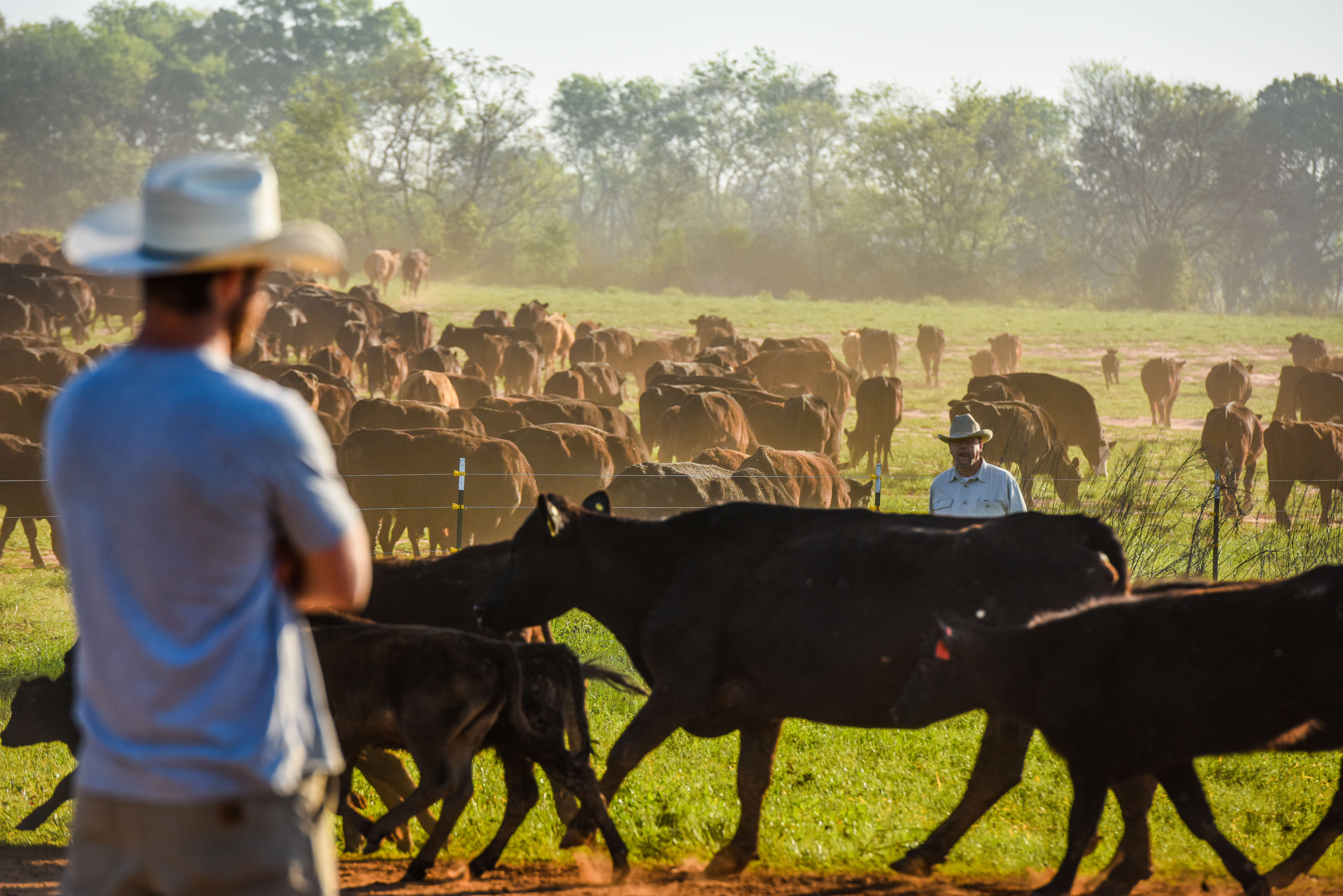 Cowboys with cattle in pasture