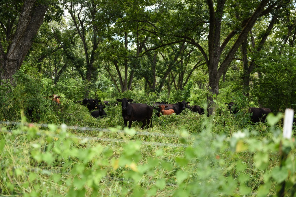 our cow-calf herd grazes in the pecan orchard