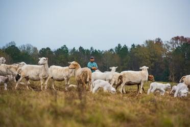 Graham Phillips sheep rotational grazing at White Oak Pastures