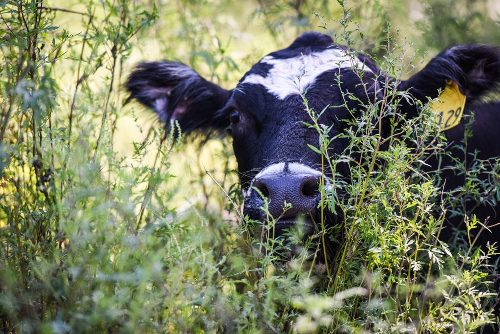 Certified humane pasture raised cattle at White Oak Pastures