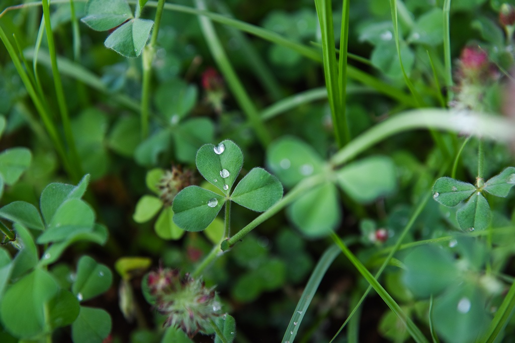 Cool season annuals like clover for grazing