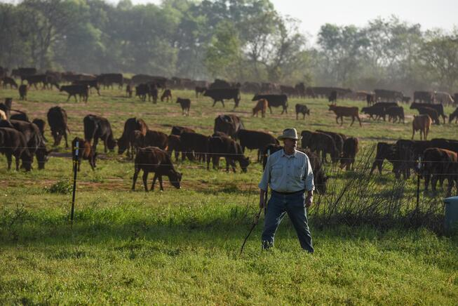 Will Harris with his herd of pasture raised beef cattle at White Oak Pastures