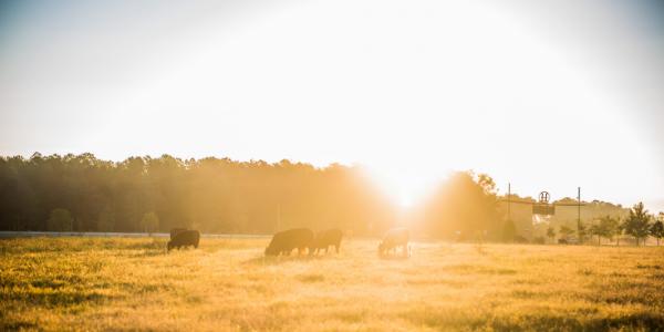 Grassfed Cattle sunrise in pasture