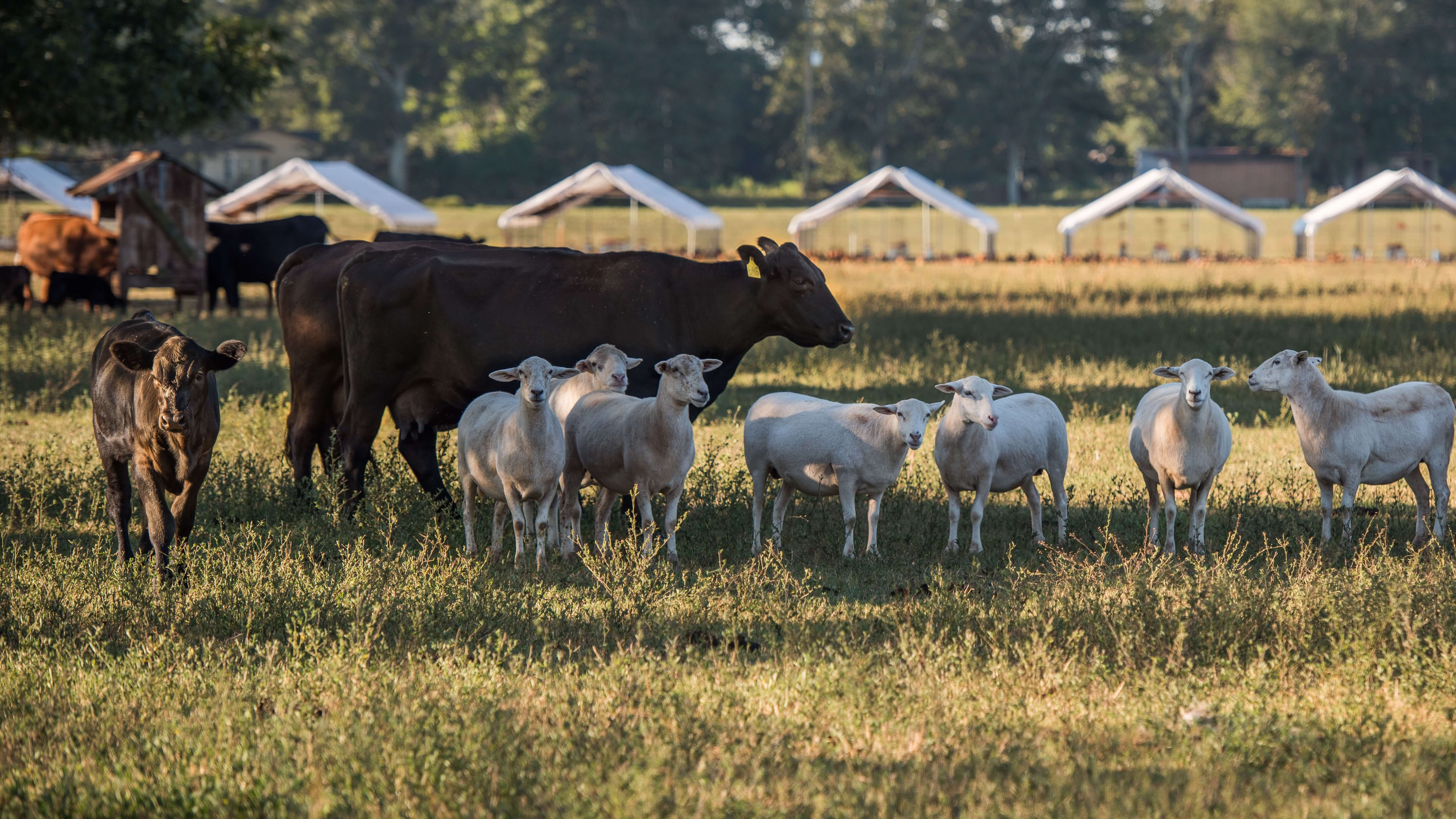 Grassfed beef and pasture raised sheep White Oak Pastures