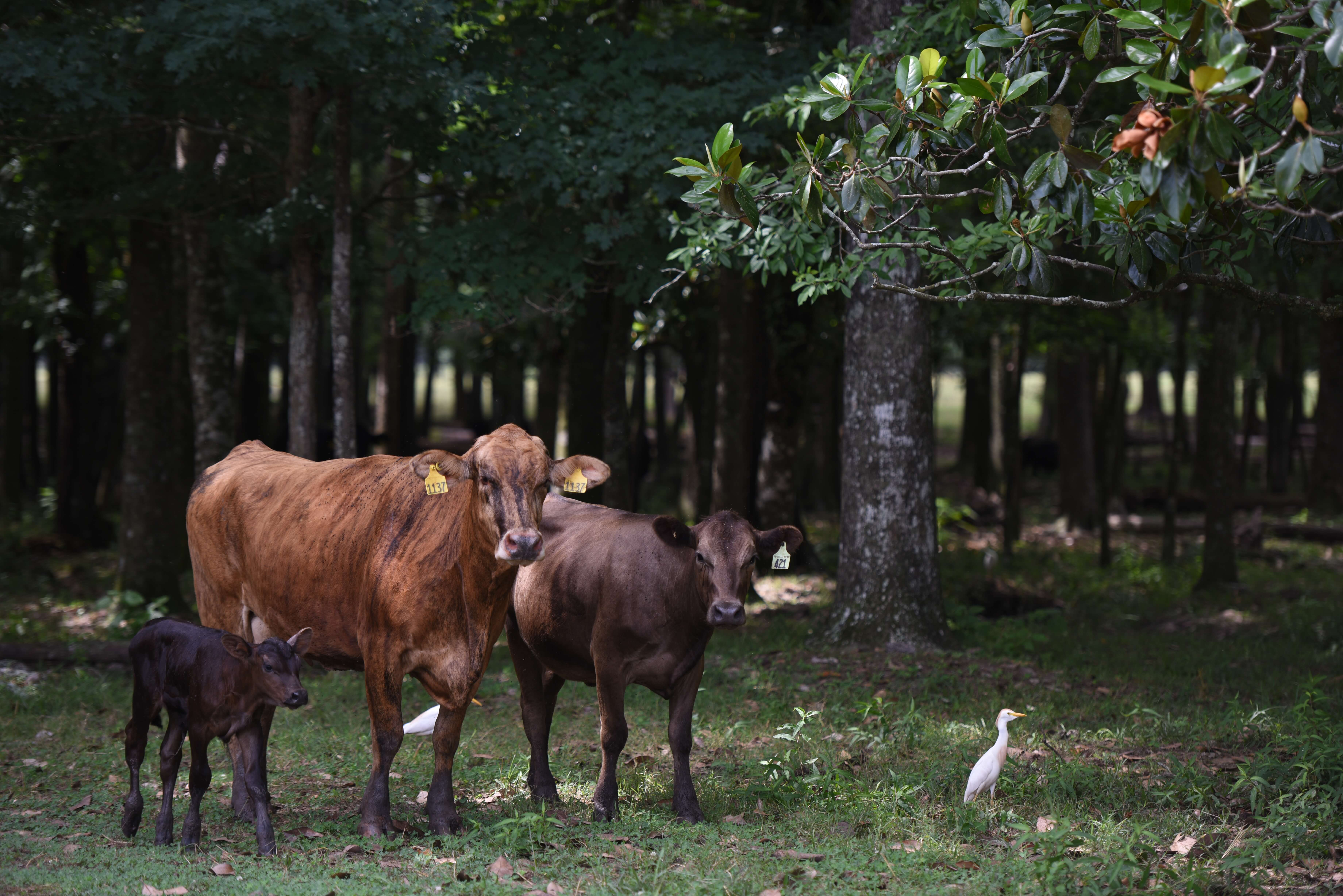 Grassfed cattle and egrets