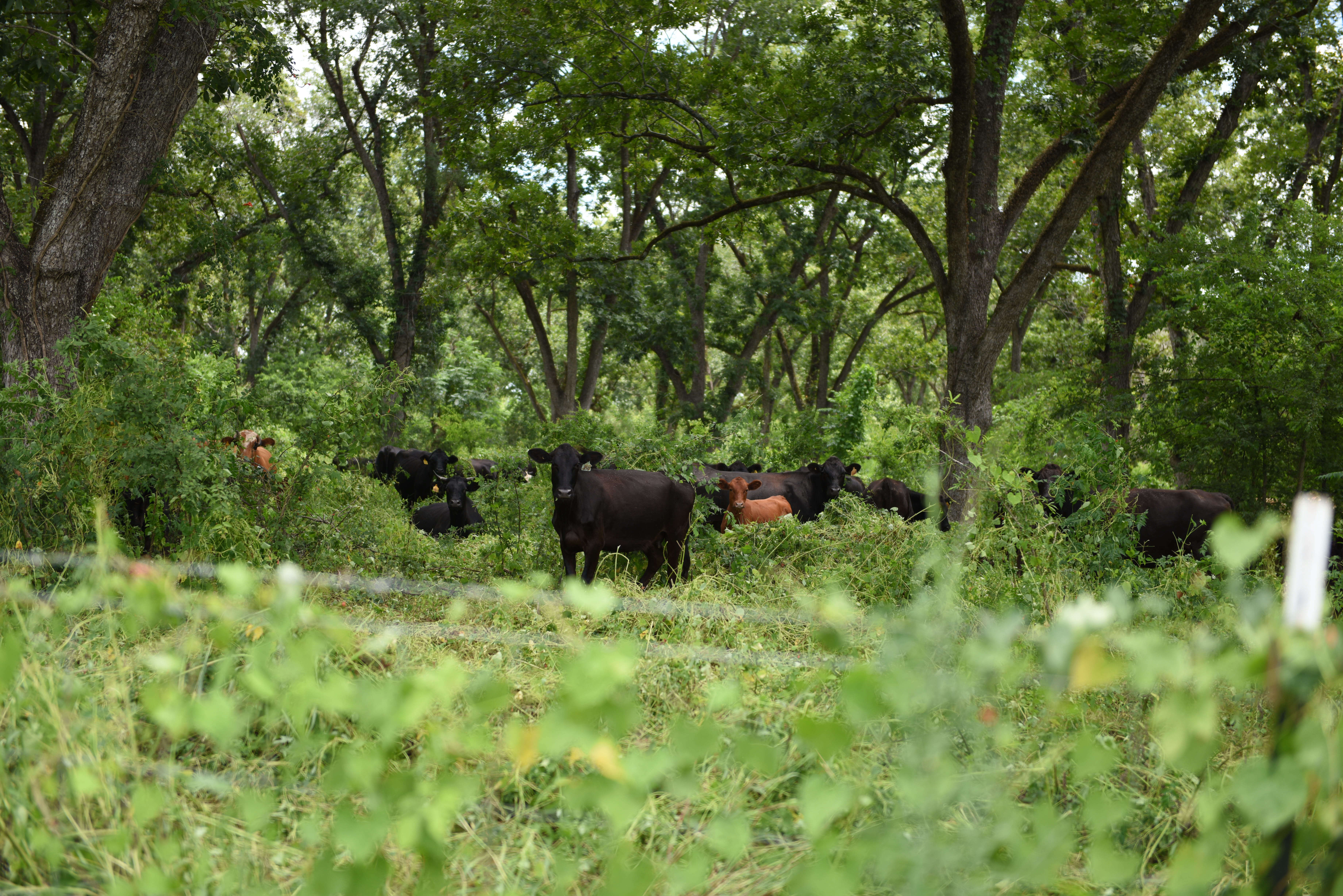 Grassfed cattle in forest (1)