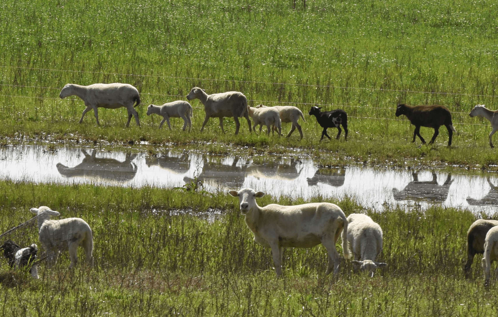 Grassfed sheep in pasture reflection