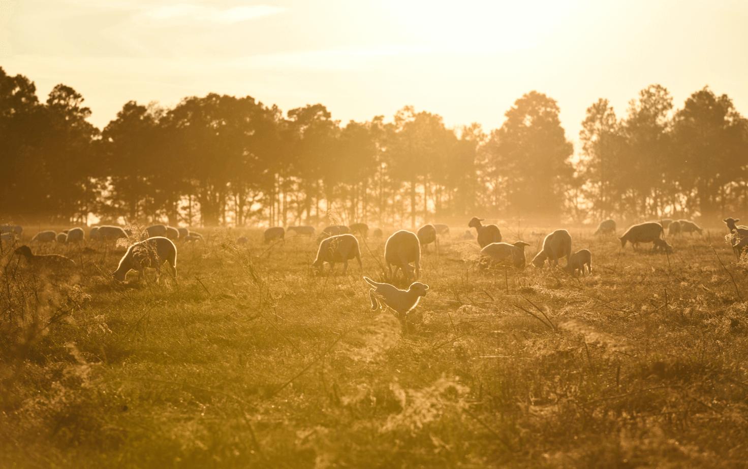 Lamb in pasture sunrise