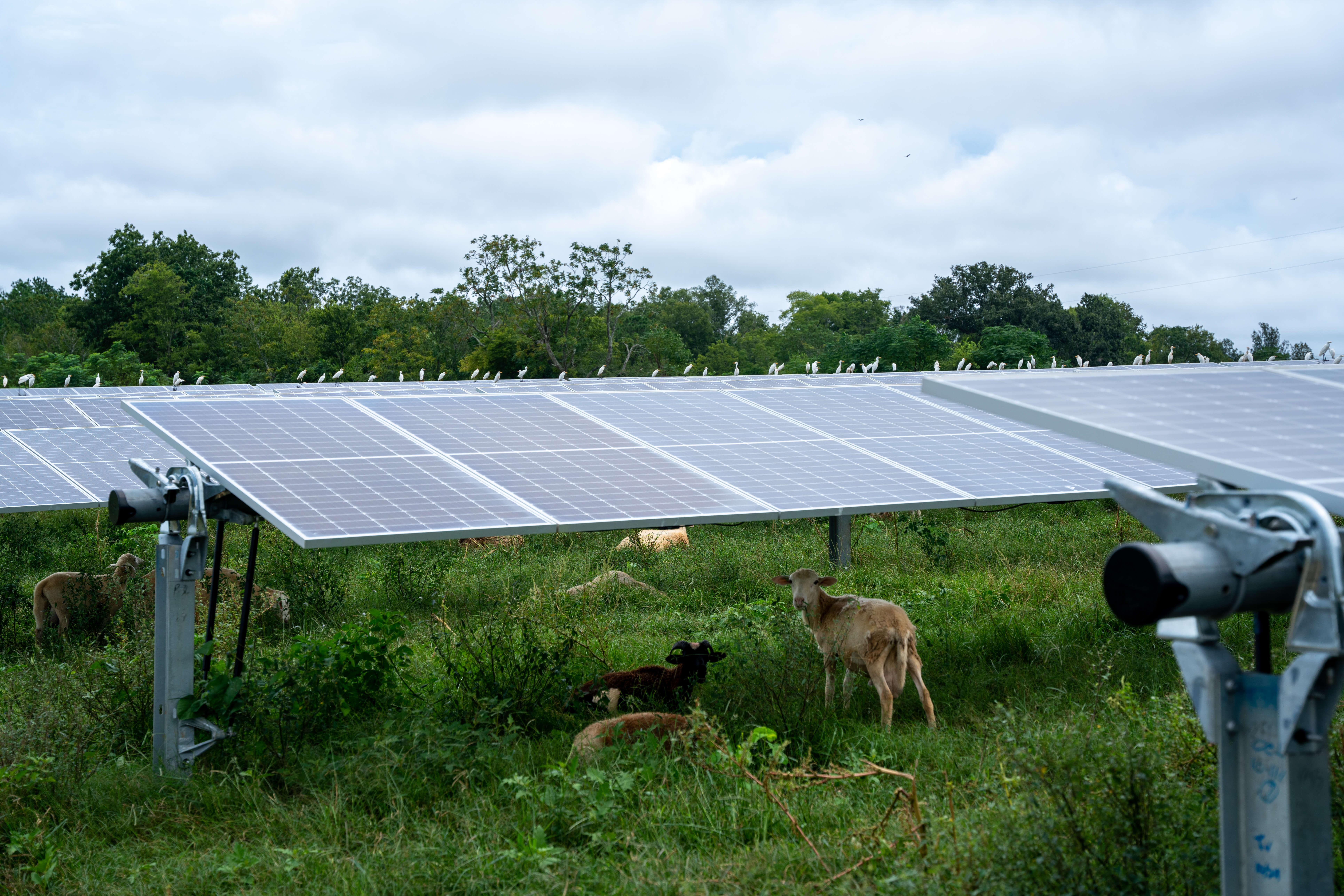 Managed grazing solar farm sheep
