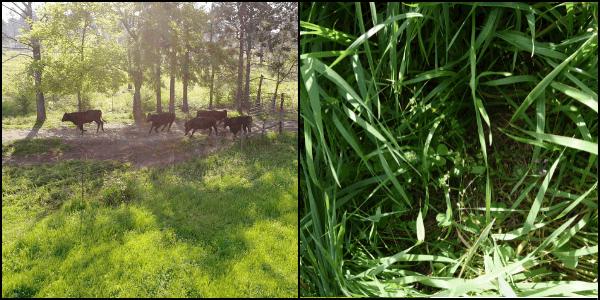 Microbial cycle perennial grasses pasture no till