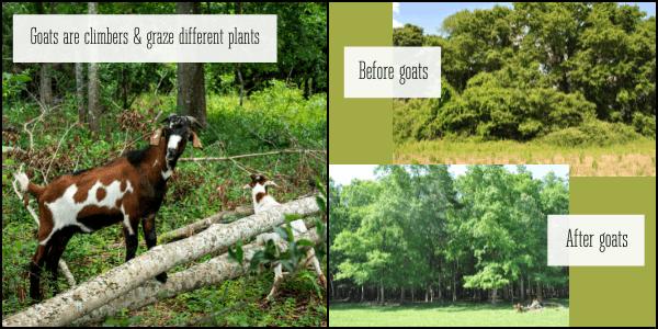 Multi species grazing goats animal impact