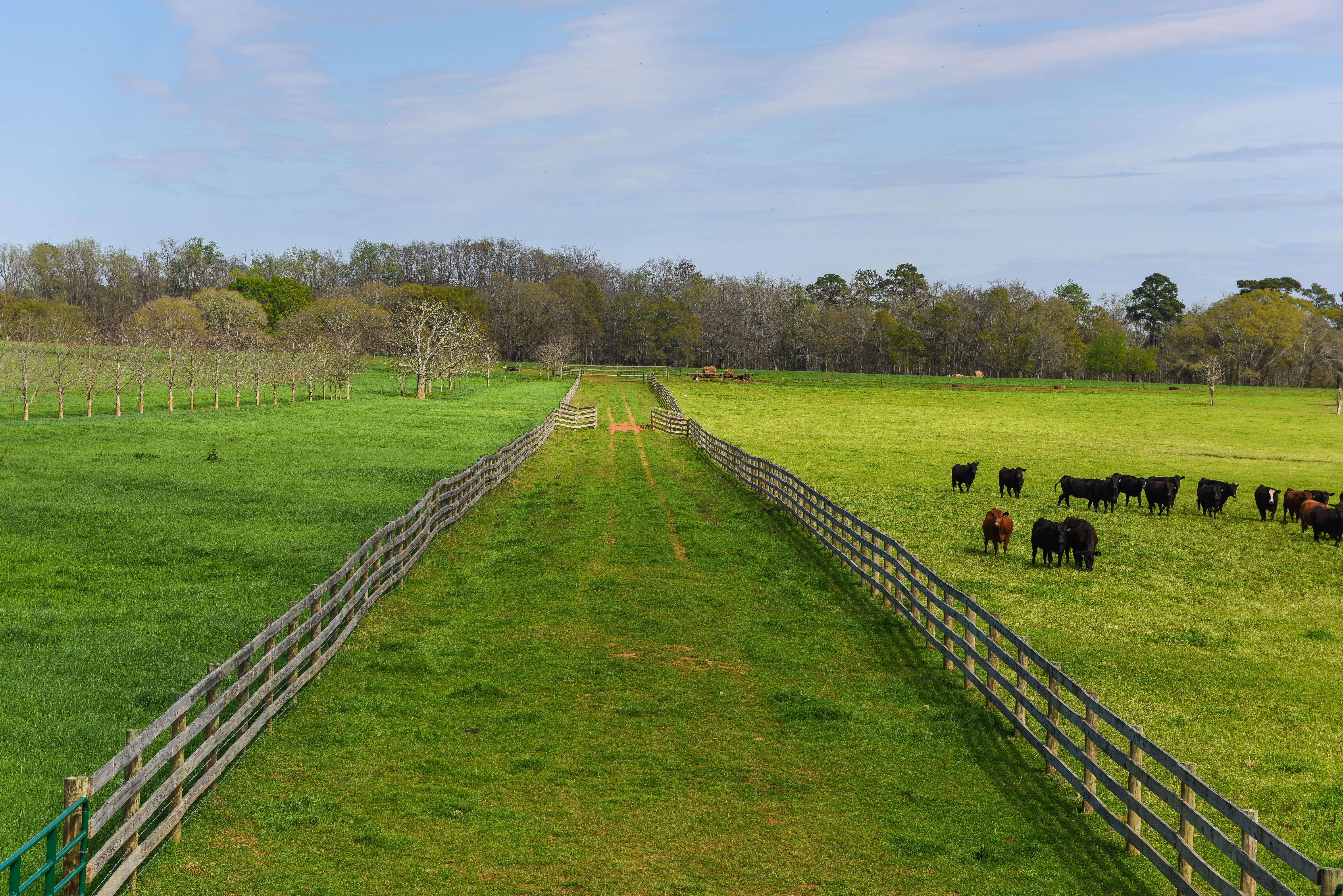 Pasture and grassfed cattle
