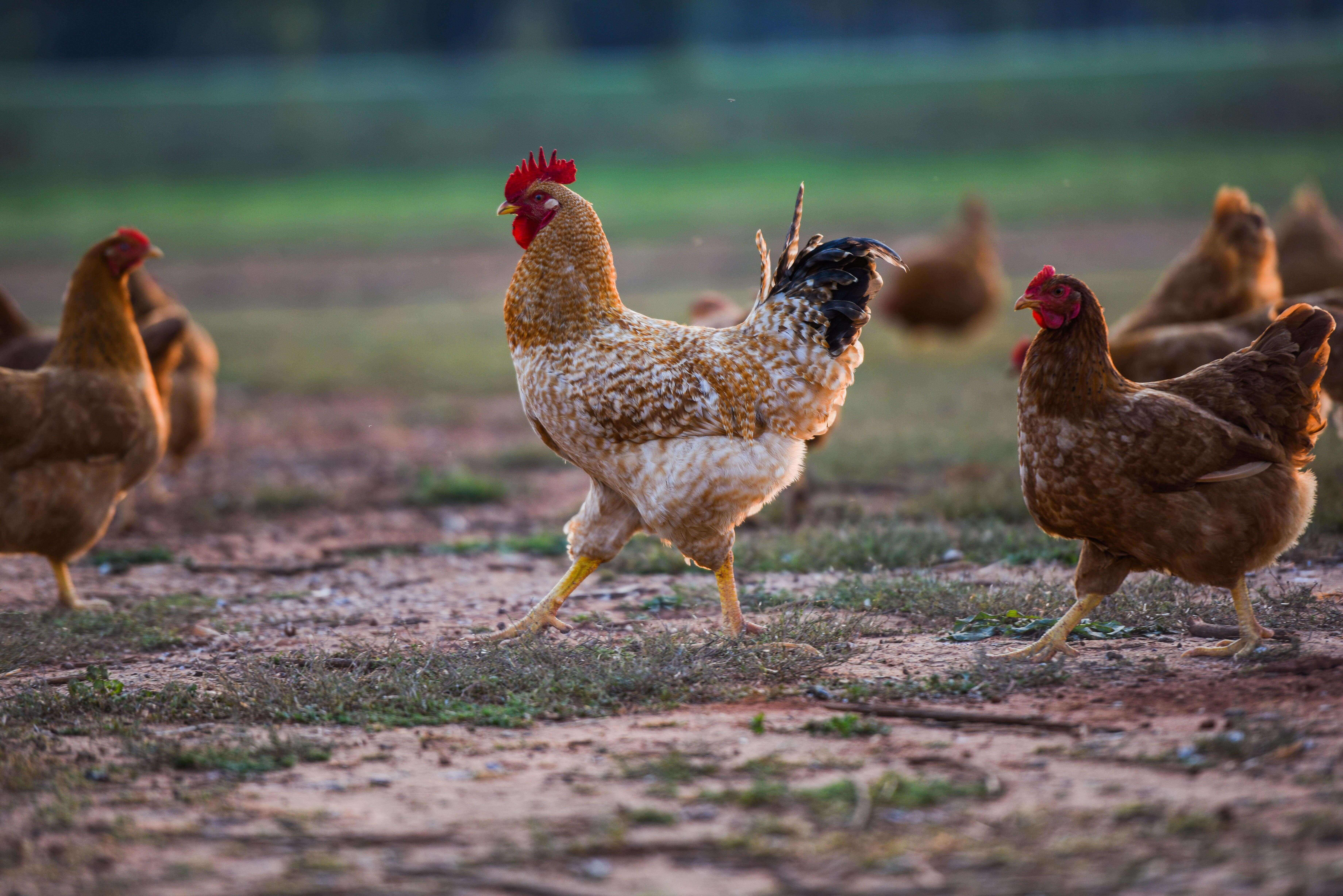 Pasture raised chickens rooster