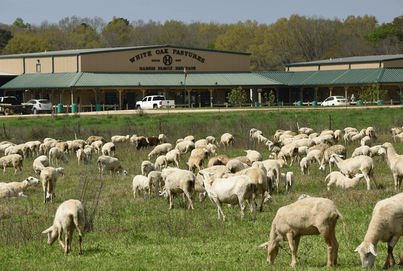 Pasture raised sheep in front of processing plant