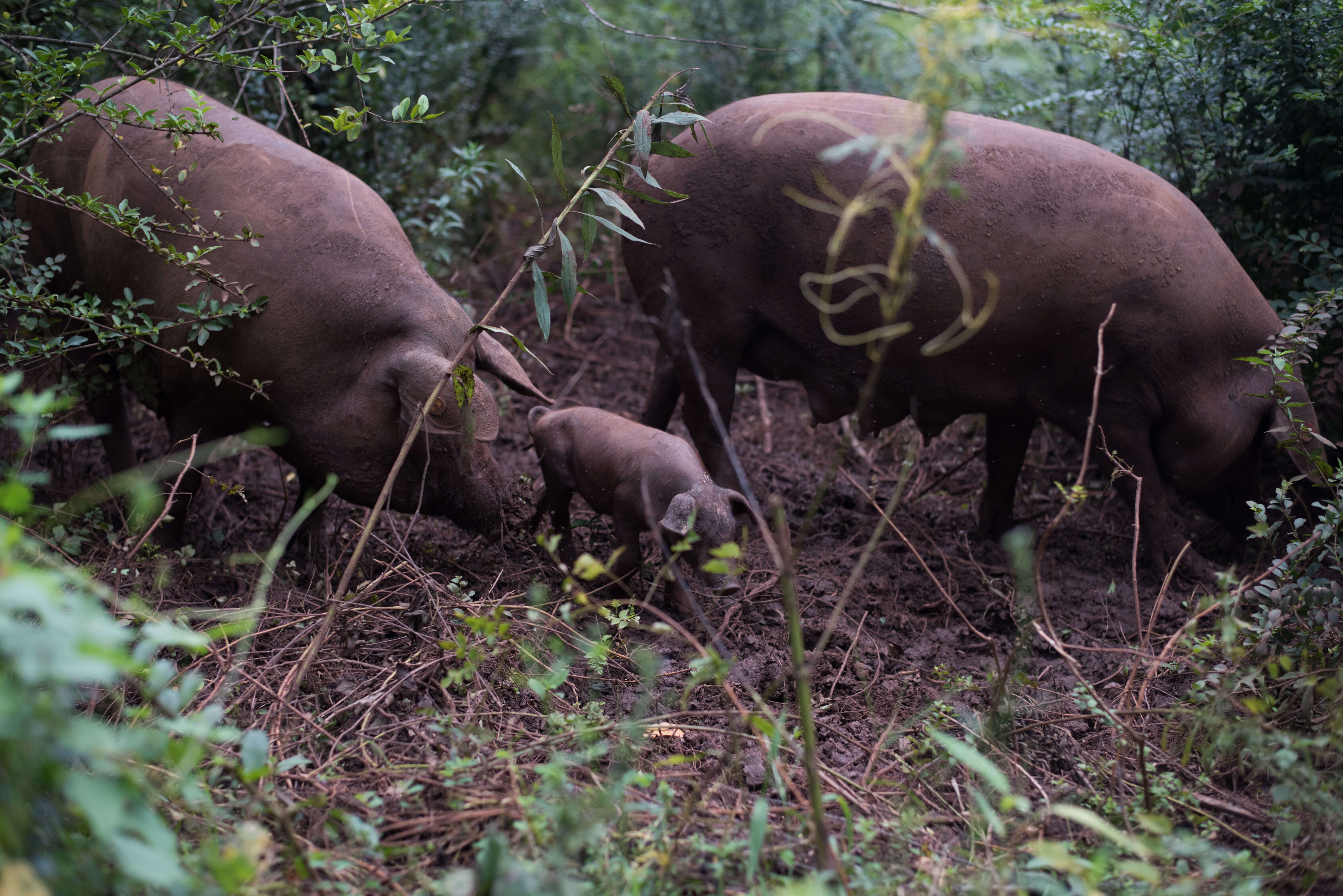 Pastured hogs in forest