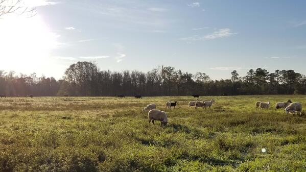 Sheep in pasture regenerative agriculture