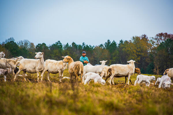 Sheep in pasture with WOP employee