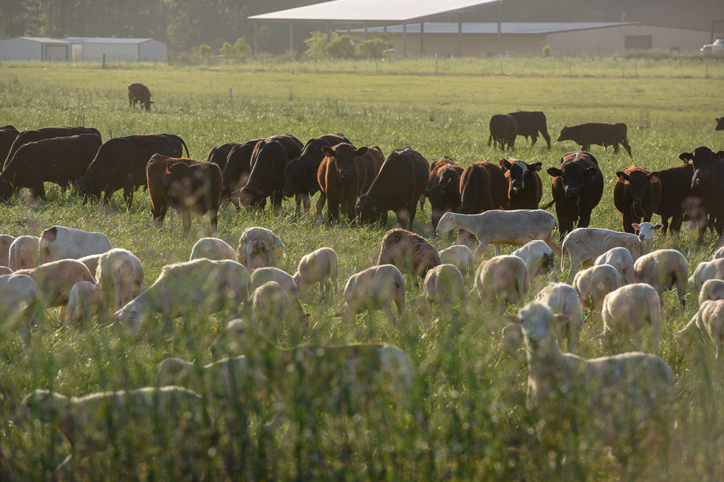 Multispecies rotational grazing is the corenstone of regenerative agriculture at White Oak Pastures.