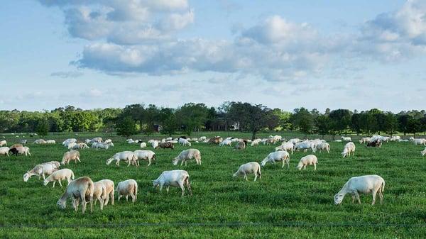 Silicon Ranch regenerative energy sheep pasture raised