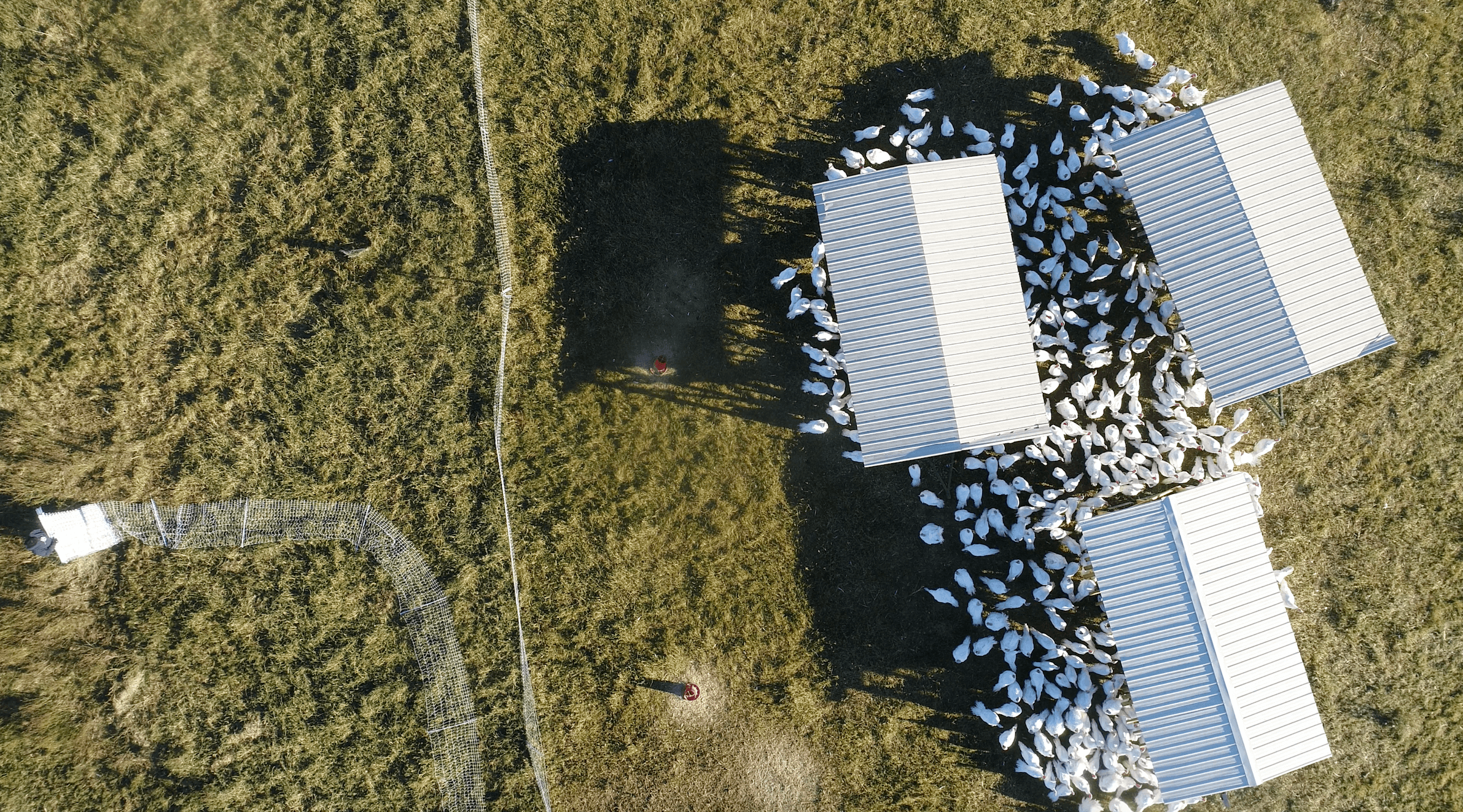 Turkeys on pasture