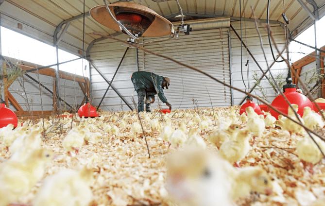 James feeding chicks at White Oak Pastures