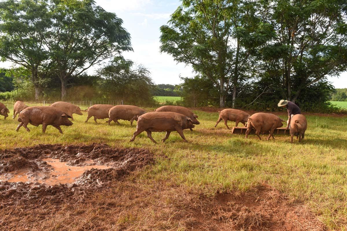 WOP-Iberian-pigs
