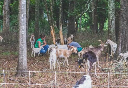 WOP-Nichole-Griffin-goats