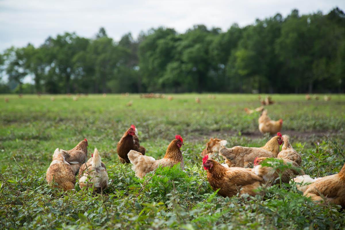 WOP-chickens