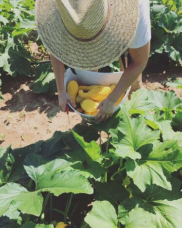 Harvesting certified organic squash for pickling