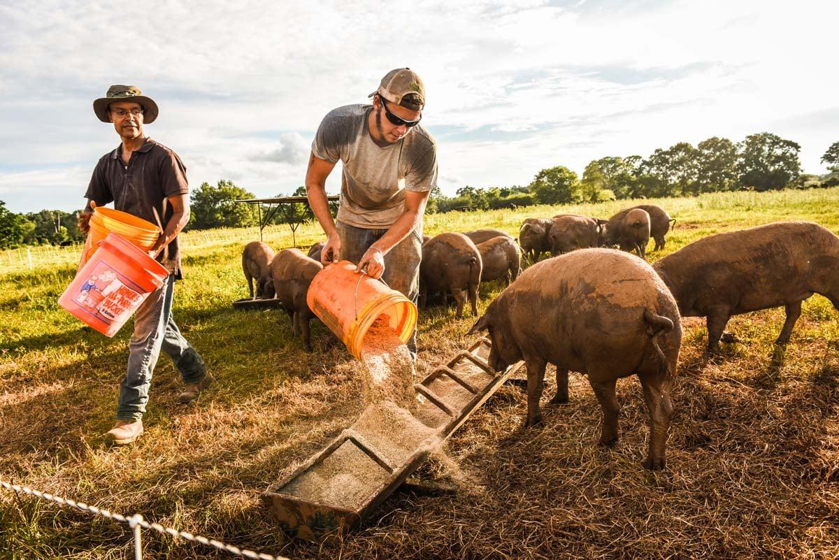 WOP-non-GMO-pigs
