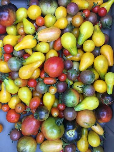 White Oak Pastures organic heirloom tomatoes for canning