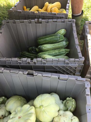 Harvesting over 100 pounds of organic squash per week at White Oak Pastures.