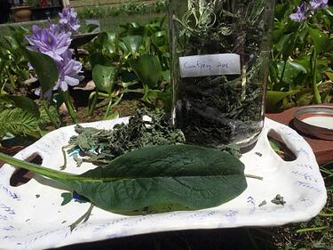 Comfrey herb is harvested for use in White Oak Pastures Herbal Gardeners Salve