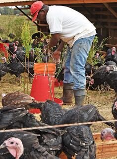 White Oak Pastures deploys mobile shelters for free range turkeys