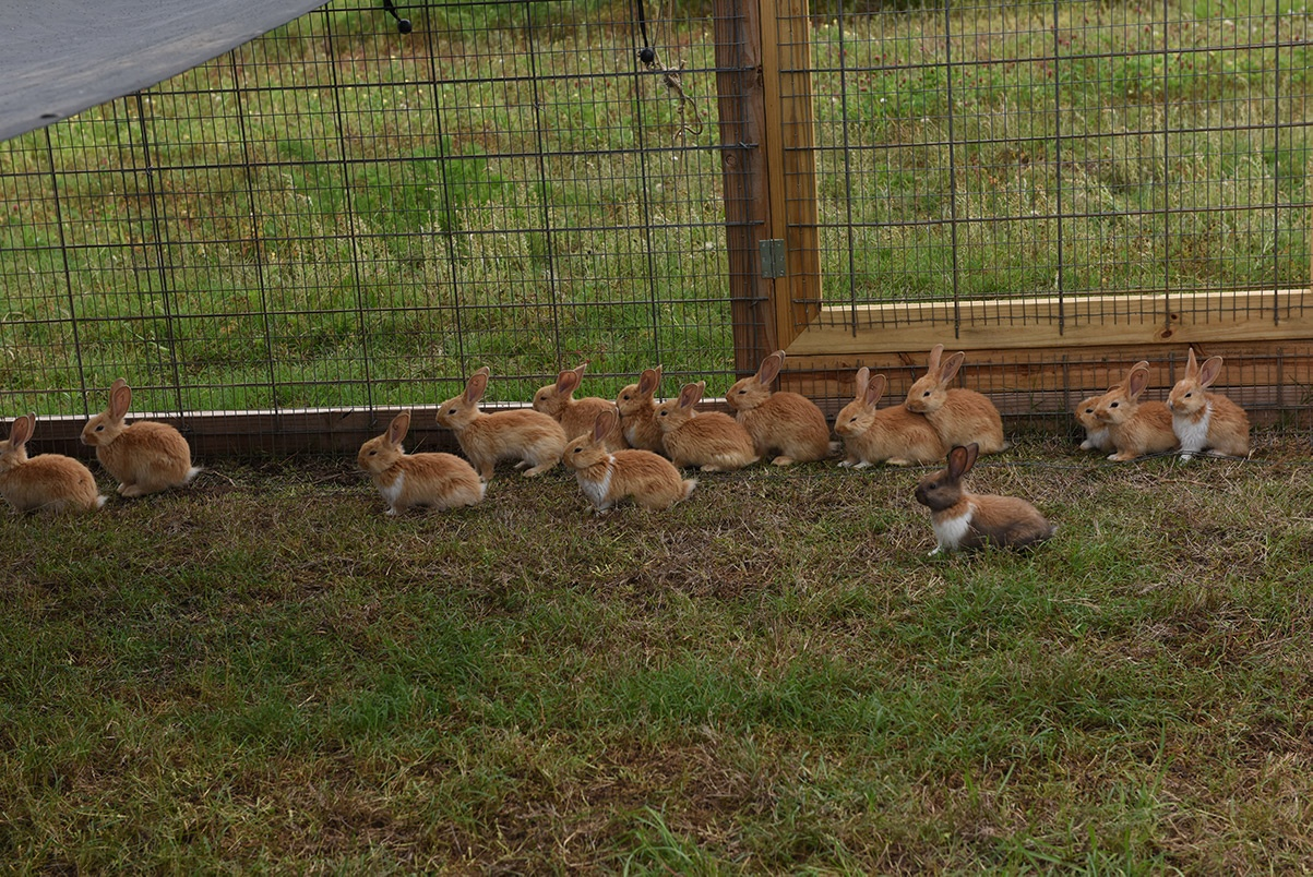 White Oak Pastures raises pastured, non-GMO American Chinchilla Rabbits