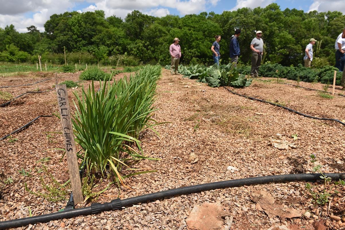 Organic garlic chives companion planting between rows of greens