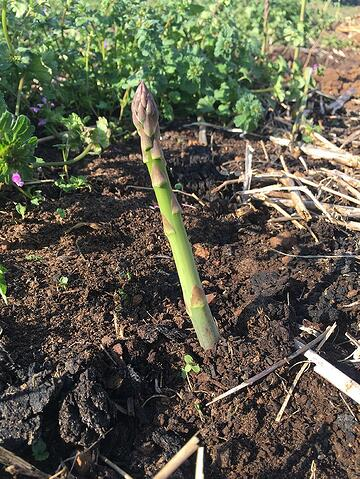 Organic asparagus grown using no-till farming methods at White Oak Pastures