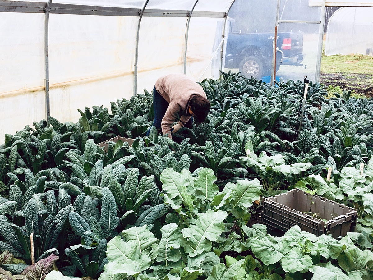 Organic kale and collards grown with no-till farming methods