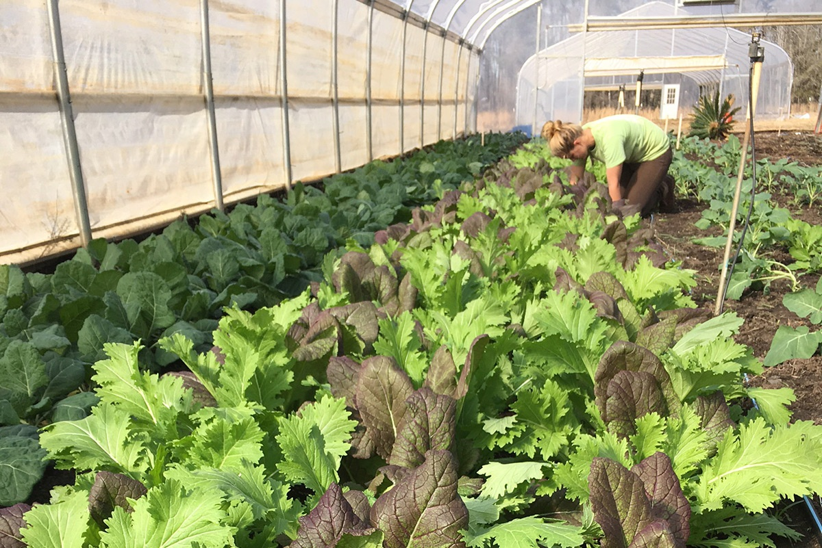 WOP organic vegetables hoophouse local