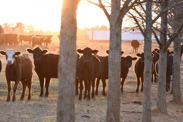 White Oak Pastures breed cattle grazing pasture