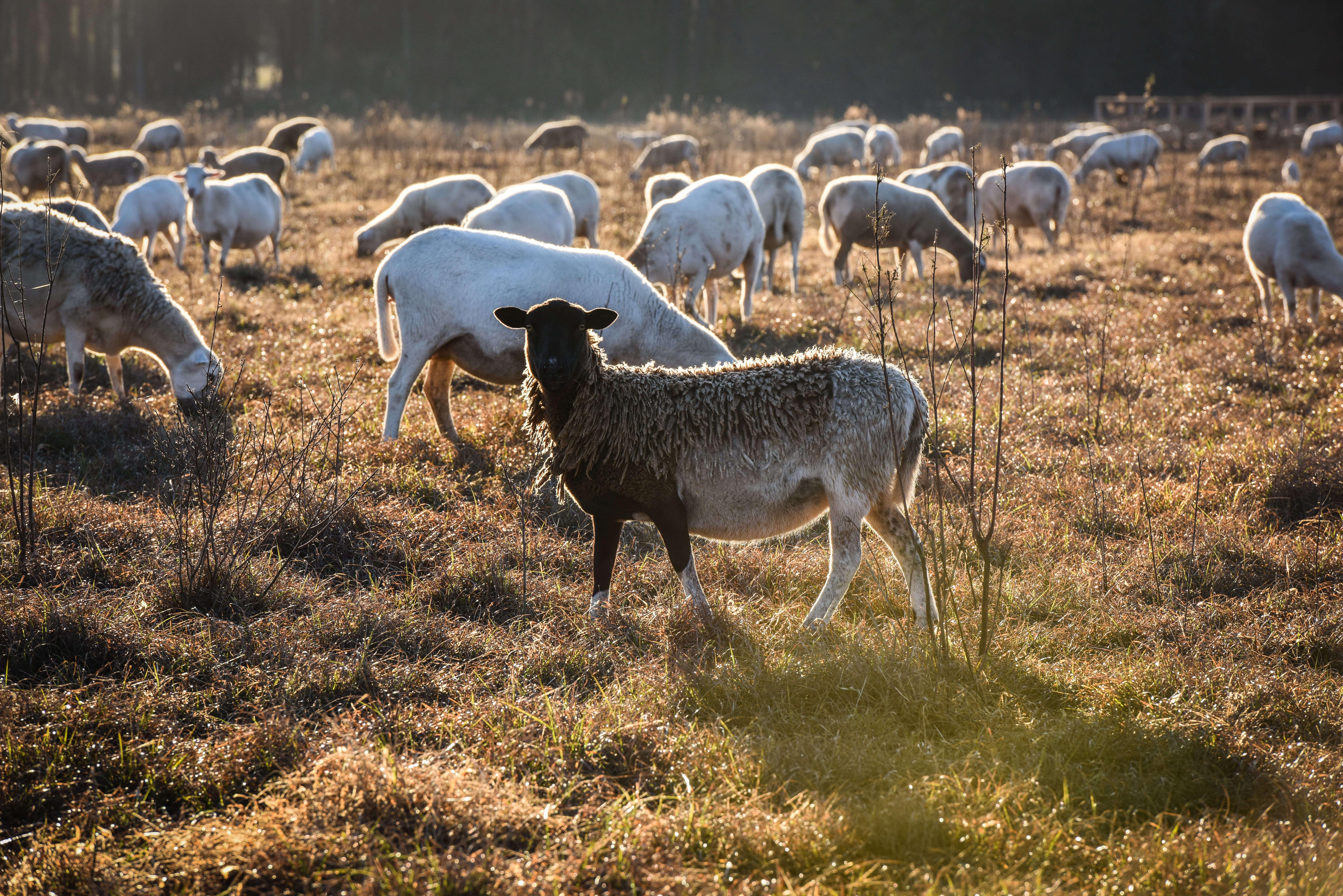 White Oak Pastures sheep pasture raised
