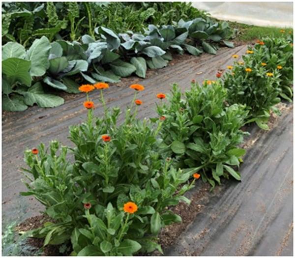 Herbs growing alongside vegetables in White Oak Pastures Organic Garden