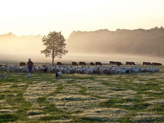 White-Oak-Pastures-multi-species-grazing