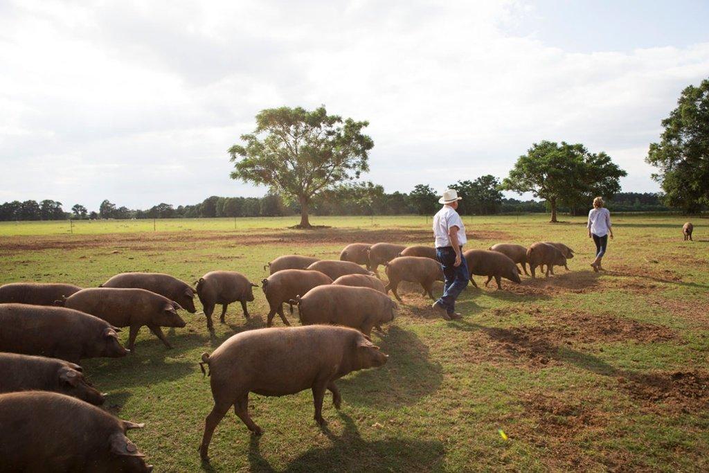 Will Harris Iberian pig iberians pastures hogs
