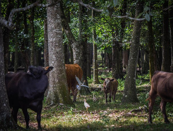Woods cattle grassfed cows