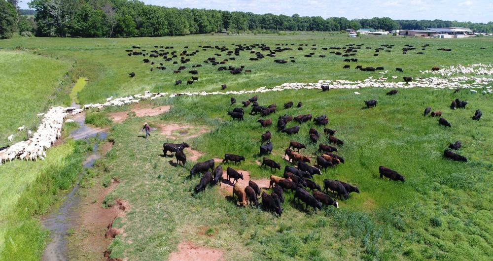 Multi-species rotational grazing at White Oak Pastures in Bluffton GA.